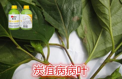 柿子树炭疽病的防治--武汉皓达农业科技有限公司