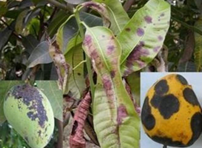 芒果炭疽病如何防治?