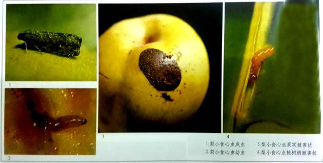 梨小食心虫的防治--武汉皓达农业科技有限公司